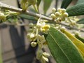 olivebud.jpg